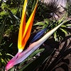 New bloom Bird of Paradise