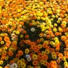 Field of yellow and orange flowers